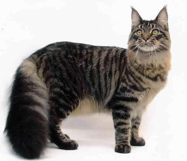 maine-coon-02