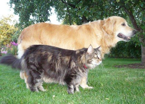 maine_coon_dog1