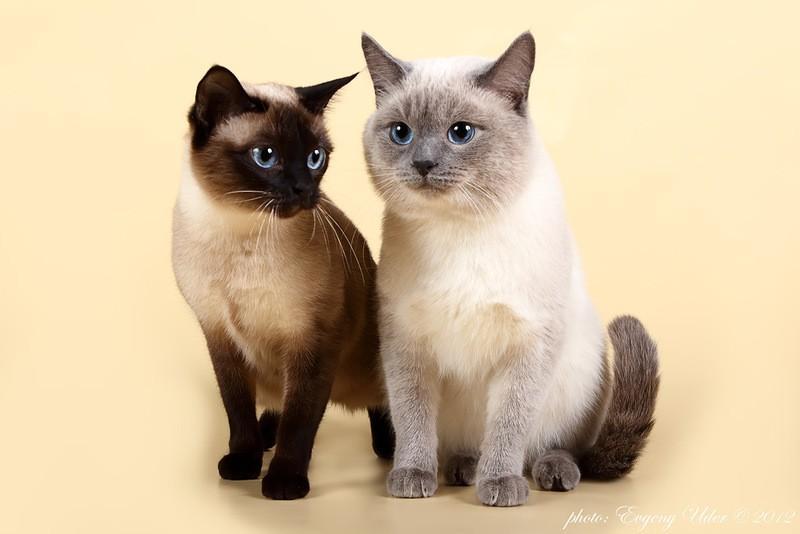 Тайская кошка - описание, стандарт, характер,33 фото