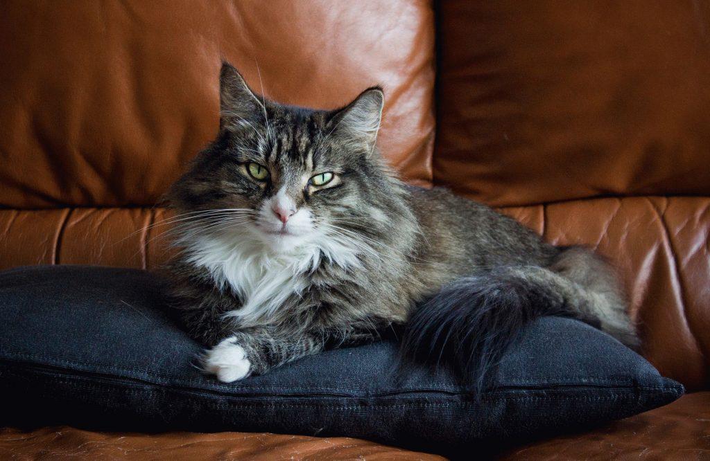 Норвежская лесная кошка- описание породы,цена, 33 фото