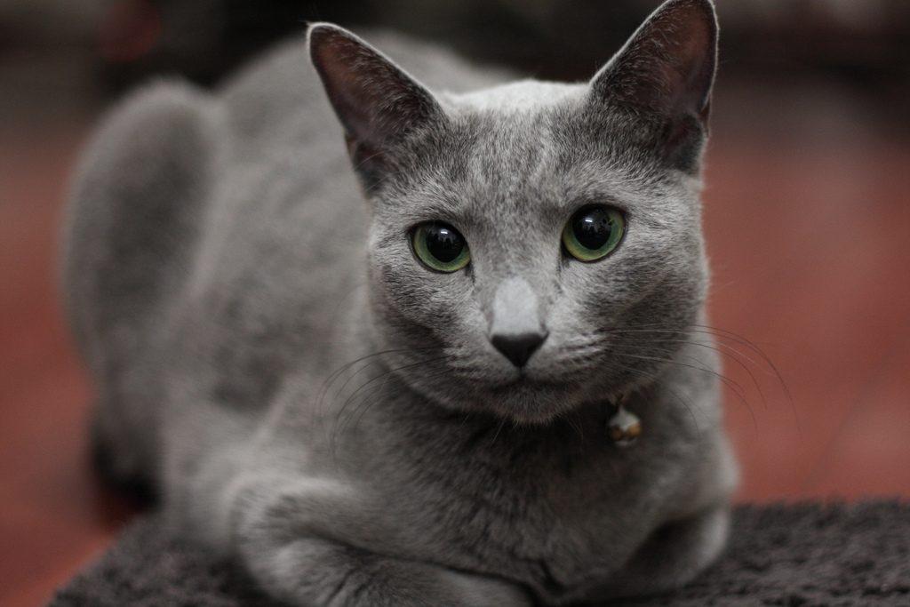 Русская голубая кошка - цена, характер породы, 33 фото