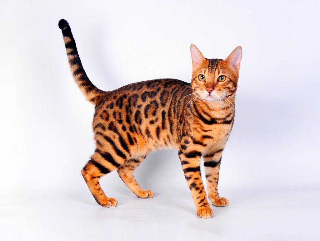 Бенгальская кошка - история, факты, характер, уход, 33 фото