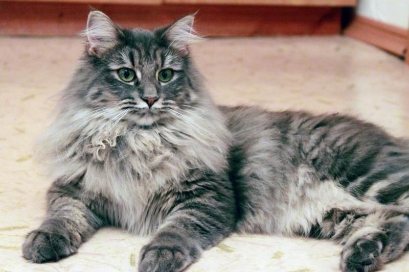 Норвежская лесная кошка Скогкэт Веги