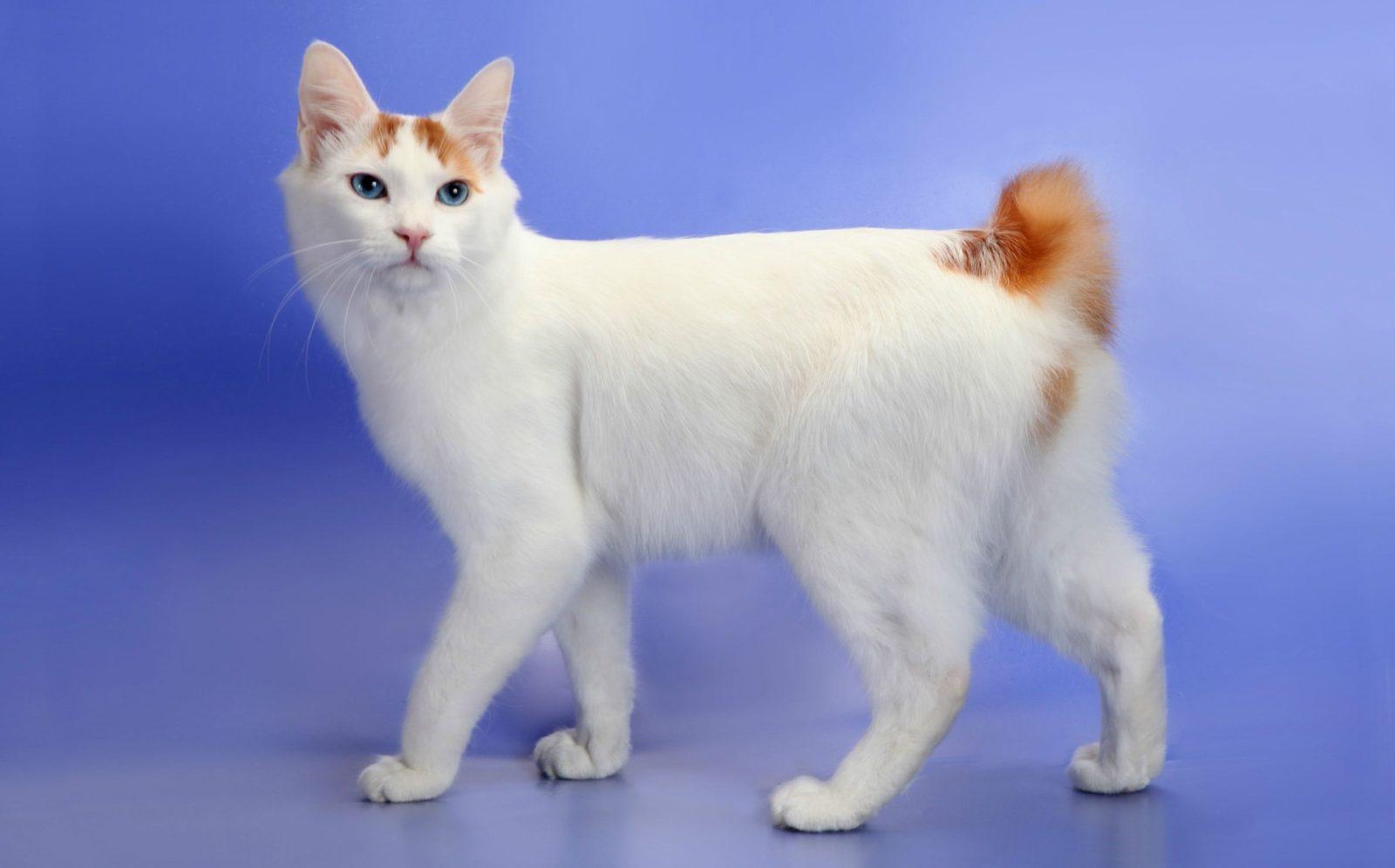 картинки кошки японский бобтейл решение для