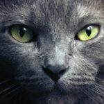 Русская голубая кошка – цена, характер породы, 33 фото