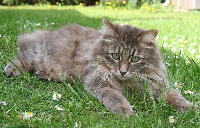 Сибирская кошка - описание породы и характер 33 фото