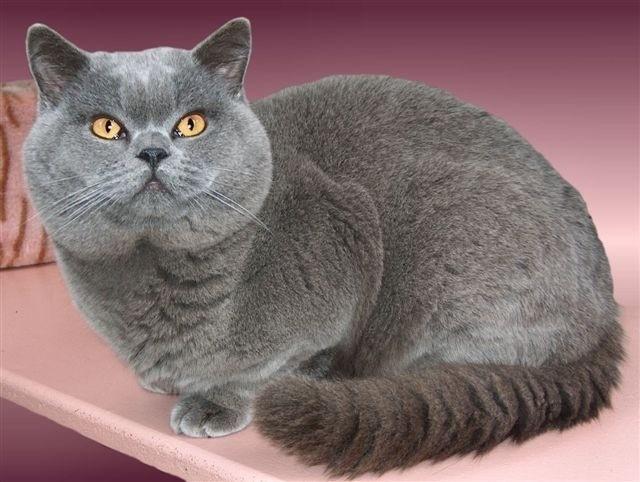 Коты похожие на британцев