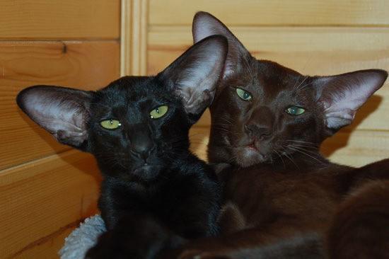 Ориентальная кошка:  цена, характер, 33 фото