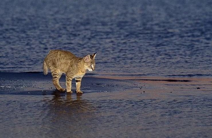 Камышовый кот: описание, фото, уход, характер, цена
