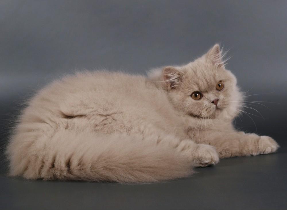 Британская длинношерстная кошка: описание, фото, уход, характер, цена