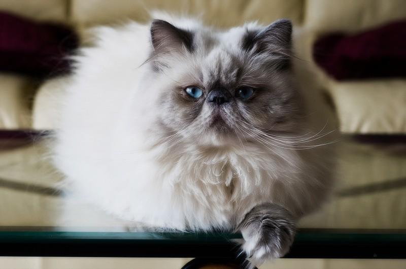 Гималайская кошка: описание, фото, уход, характер, цена