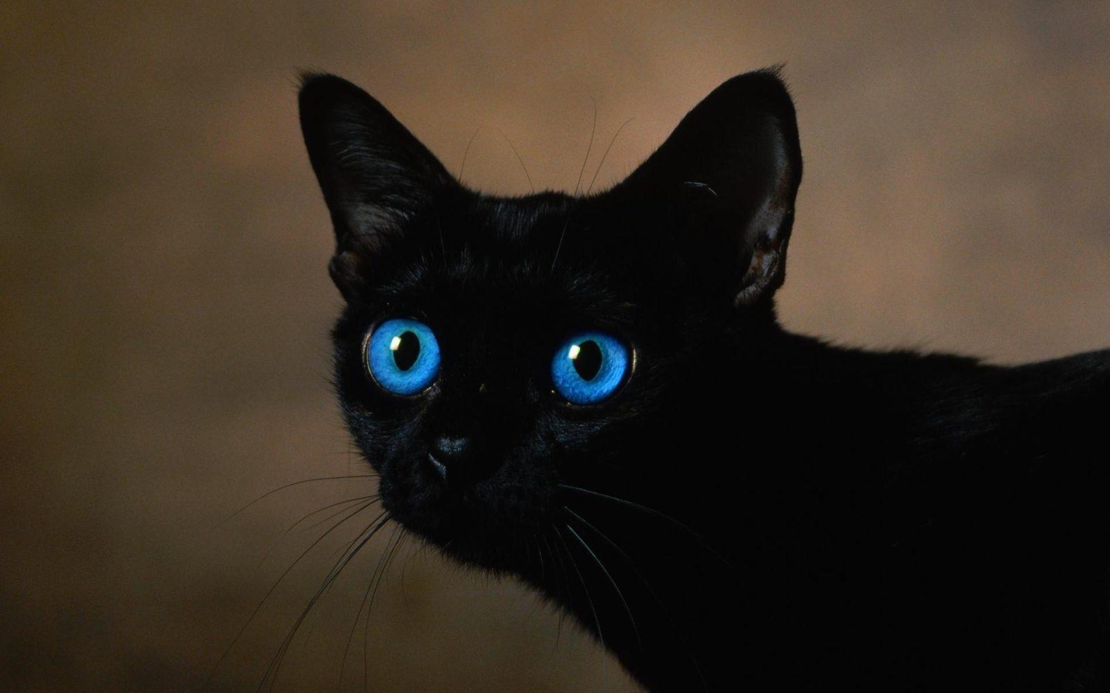 Охос азулес особенности кошачьей породы