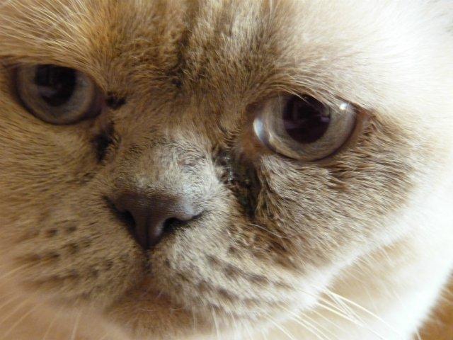 Болезни глаз у кошек -разновидности,симптомы, лечение