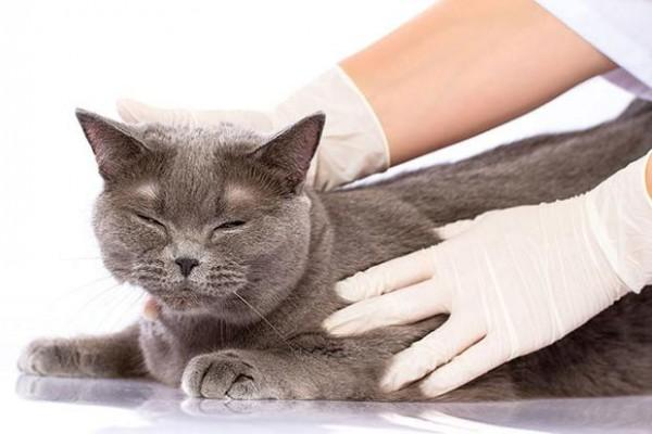 Глисты у кошек: виды, симптомы,профилактика и лечение