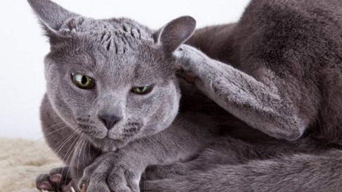 Аллергия у кошек: симптомы и способы лечения