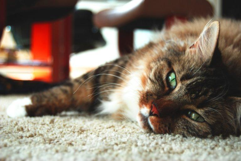 Гастрит у кошек: профилактика,причины,симптомы и лечение