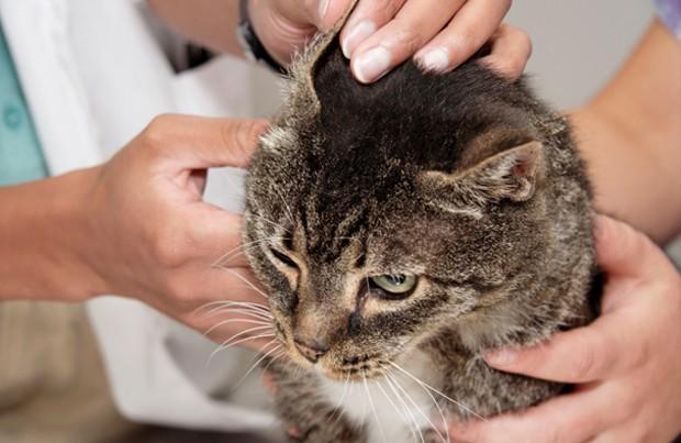 Ушной клещ у кошек - симптомы ушного клеща у кошек