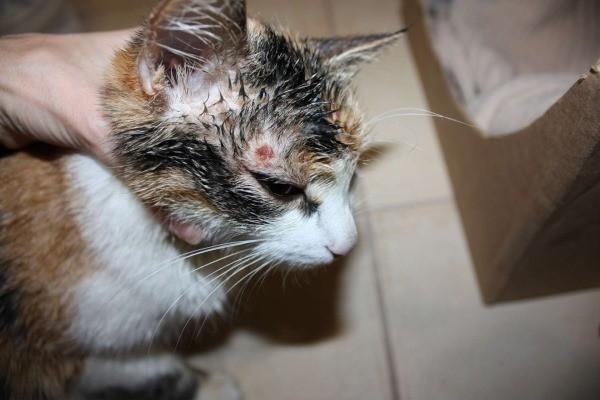 Лишай у кошек - признаки кошачьего лишая
