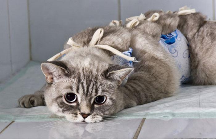Стерилизация кошек - зачем делать стерилизацию кошки и в каком возрасте