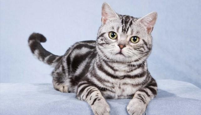 Американская короткошерстная кошка