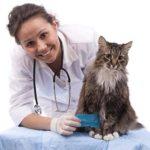 Цистит у кошек –  симптомы цистита у кошек