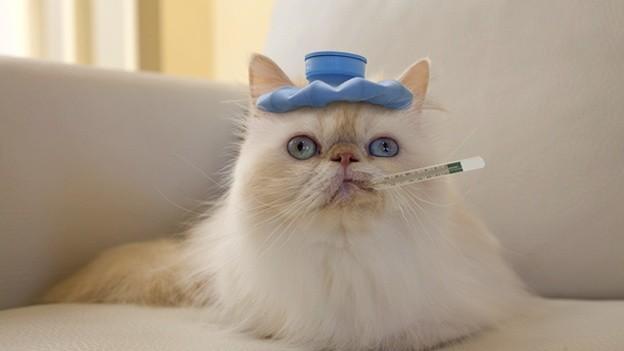 Цистит у кошек -  симптомы цистита у кошек