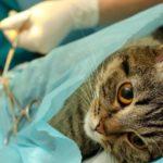 Мастит у кошки – Разновидности заболевания и его последствия