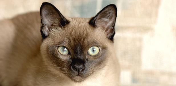 Отит у кошек – по какой причине развивается отит у кошек