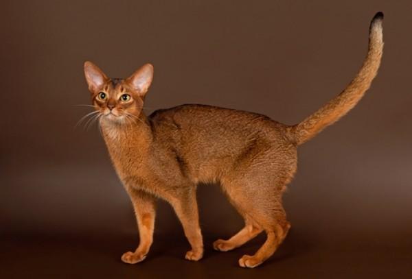 Характер абиссинской кошки