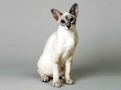 Гипоаллергенные породы кошек с фотографиями -  для людей с аллергией