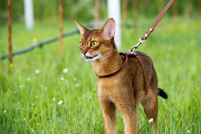 Абиссинские кошки и коты