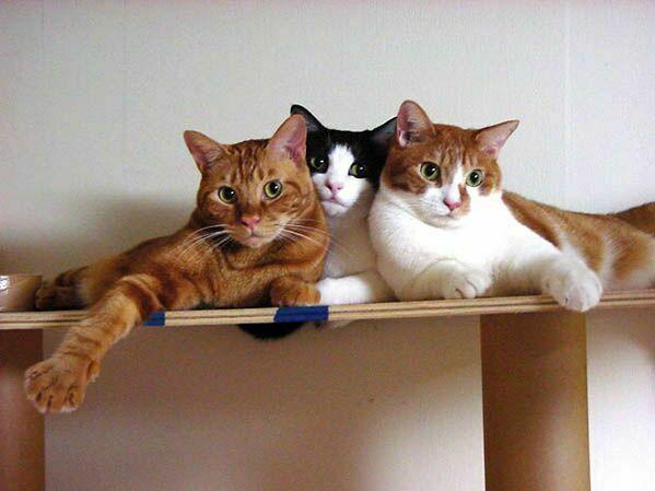 Две кошки в доме. Как подружить кошек