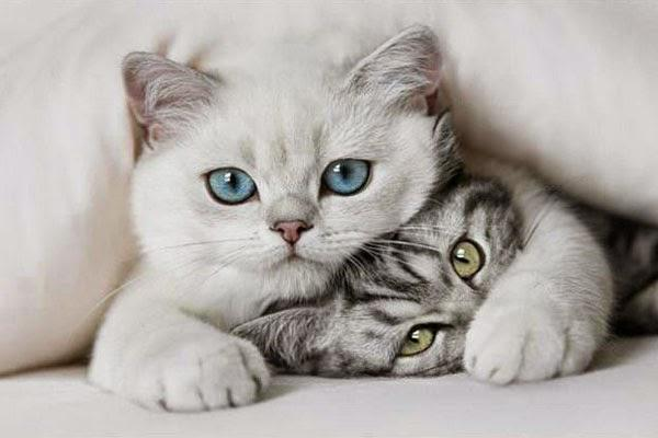 Как мурлыкают кошки - почему мурлыкают кошки?