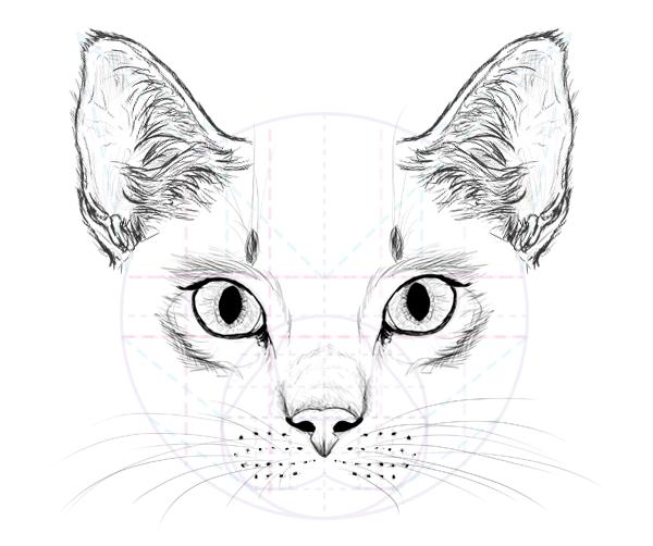 Анатомия кошек - внутренние органы кошек