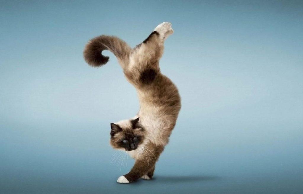 Как дрессировать кошек в домашних условиях