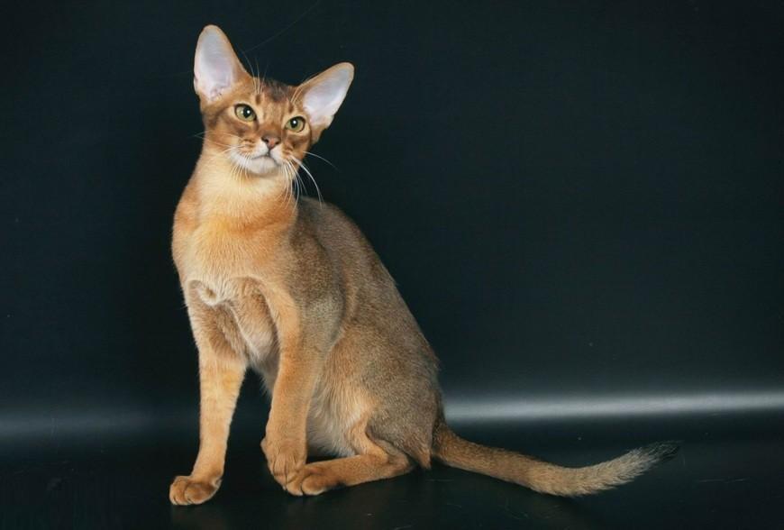 Порода кошек с большими ушами-обзор пород с фотографиями