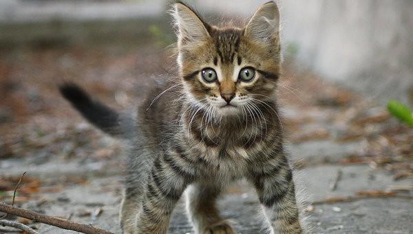 Кошки-крысоловы
