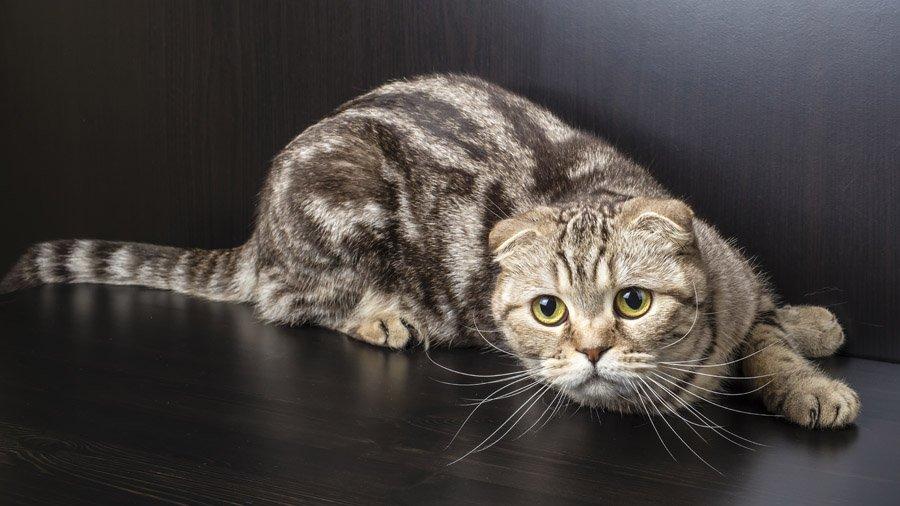 Пятнистые кошки: фото, окрас и названиями