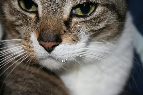Почему у кошки текут слюни изо рта
