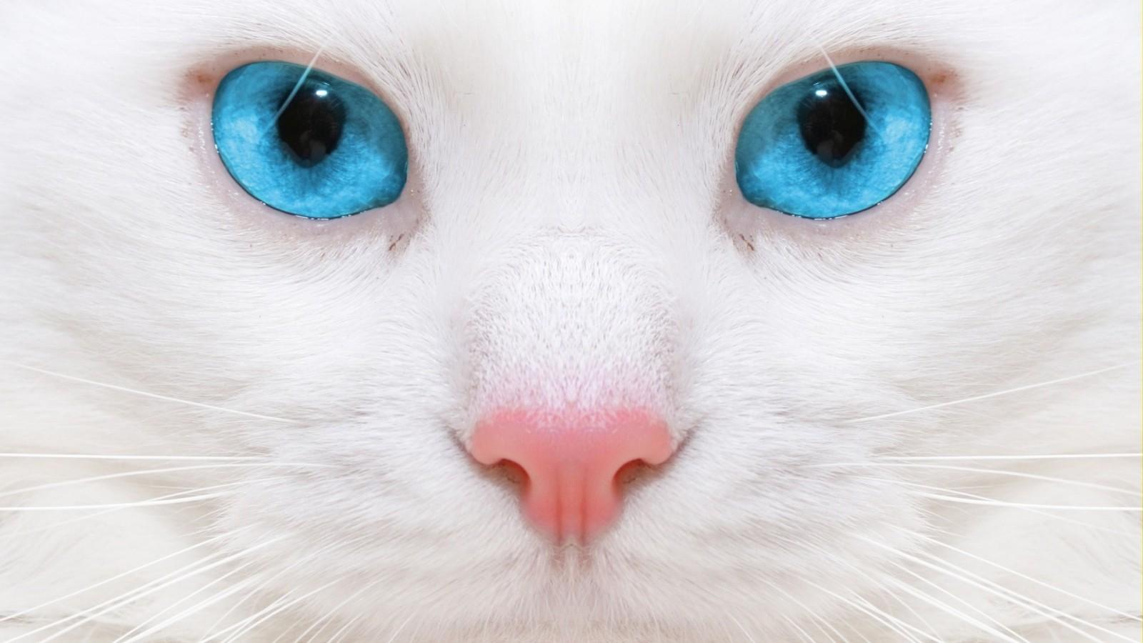 Породы белых кошек