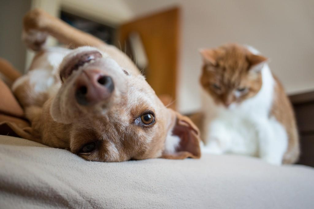 Как подружить кошку с собакой