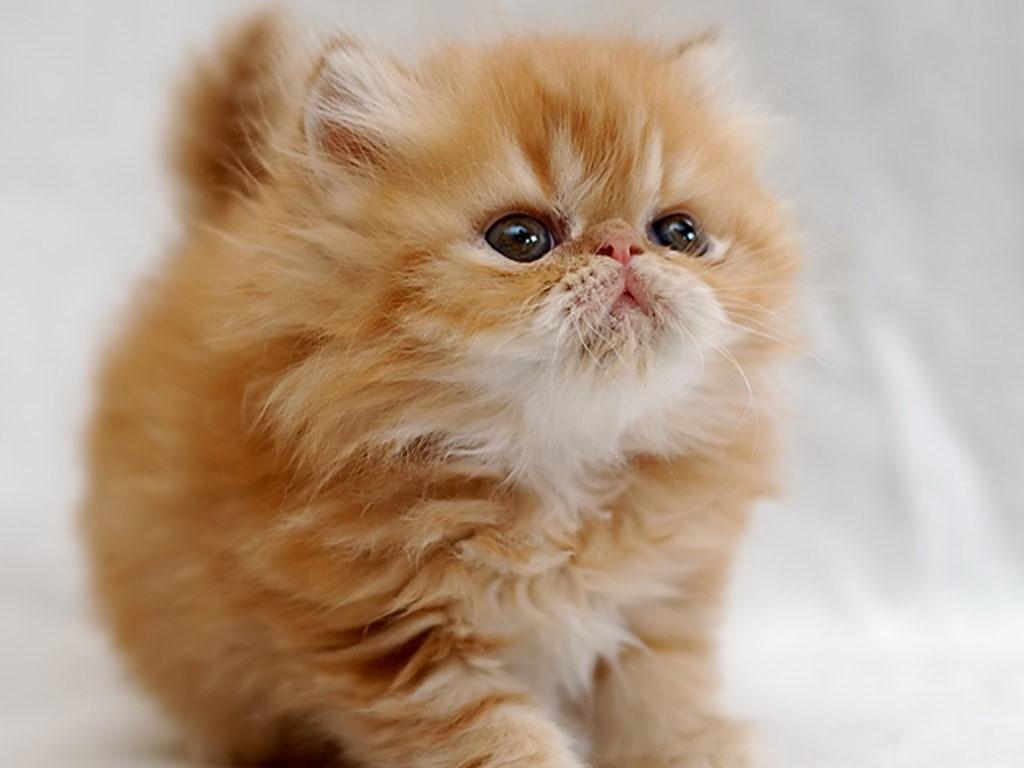 Породы рыжих кошек