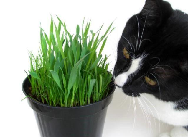 Трава для кошек - как вырастить траву для кошек?