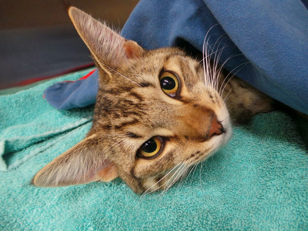 Сколько стоит кастрация кота - когда кастрировать кота и где кастрировать кота?