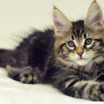 Сколько стоит котенок мейн-куна, и где его можно купить?