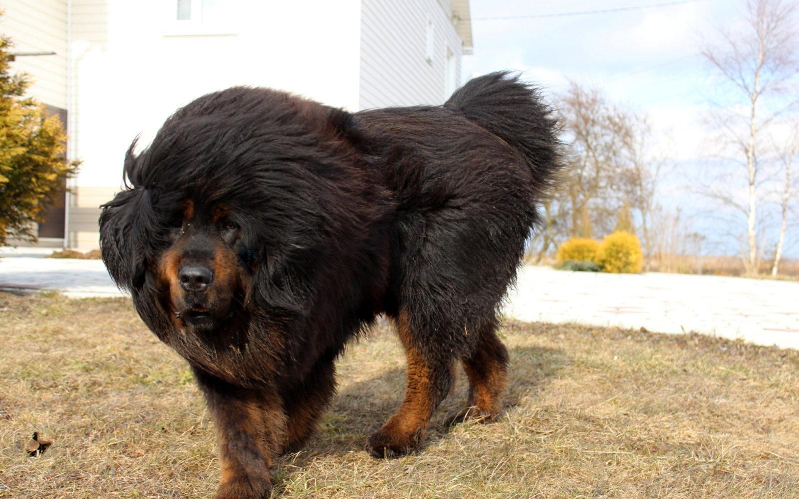 Порода собак Тибетский мастиф