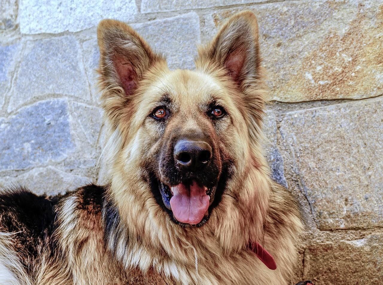 Порода собак Немецкая овчарка