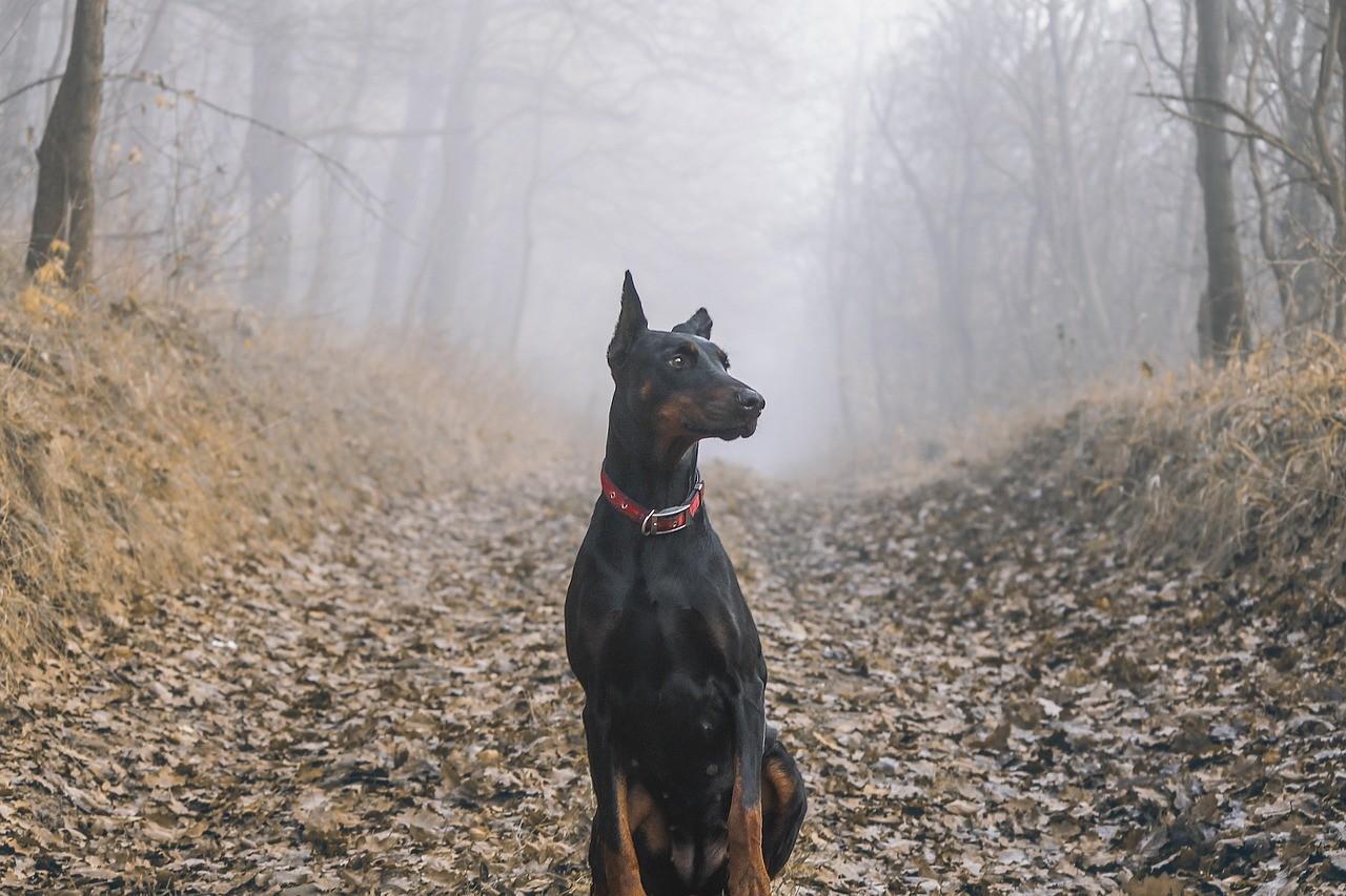 Порода собак Доберман