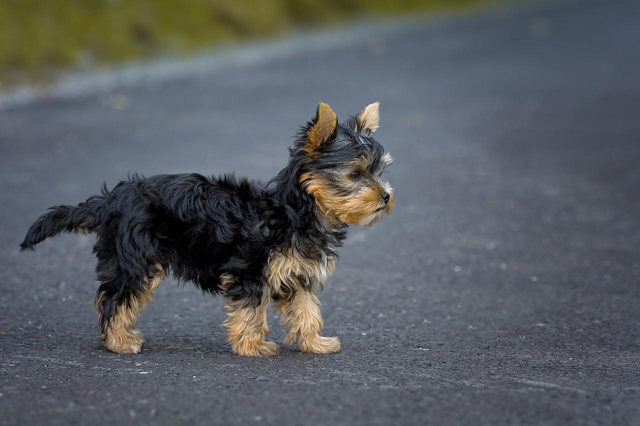 Порода собак Йоркширский Терьер
