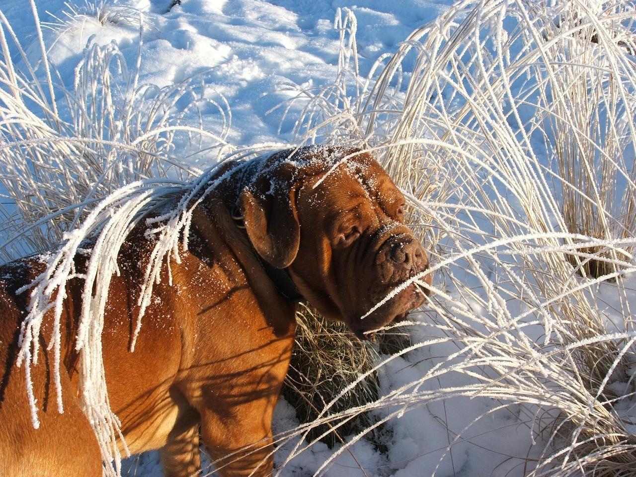 Порода собак Мастиф